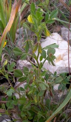 Ononis ornithopodioides, Bird Restharrow, Ononide simile all'uccellina