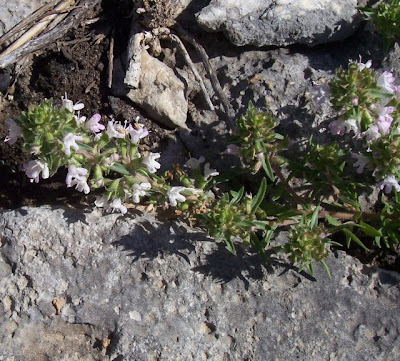 Thymus spinulosus, Timo spinosetto