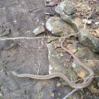 Gartner Snake