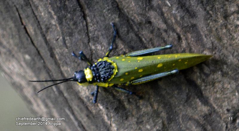 Coffee locust, Ghost Grasshopper, Northern Spotted Grasshopper, or Foam Grasshopper