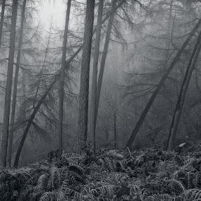 January Pine Woodlands by Ceri Jones - Landscapes Forests ( woodlands, winter, trees, forest, woods, mist )