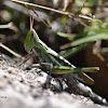 Admirable grasshopper (female)