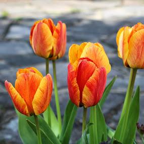 Tulips by Claudio de Freitas Photography - Flowers Flower Gardens ( tulips#london#mitcham#2013,  )