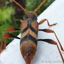 Flower Longicorn Beetle