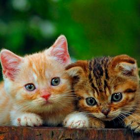 #Scottishfold kitten by Cacang Effendi - Animals - Cats Kittens ( cats, cattery, kitten, chandra, animal )