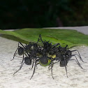 Ants with spikes on their back