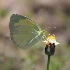 Scalloped Grass-Yellow