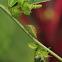 Juniper Shield Bug