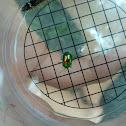 Chrysolina fastuosa - Prächtiger Blattkäfer