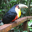 Red-breasted Toucan, Tucano-de-Bico-verde