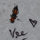 Semut Charlie/Kumbang Rove/Kumbang Tomcat/Rove Beetles