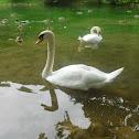 Mute swan, Crvenokljuni labud
