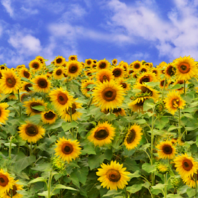 Loaded With Sunnies by Corinne Noon - Flowers Flower Gardens ( field, farm, loaded, sunflowers, flowers, garden,  )