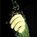 Housefly fungus