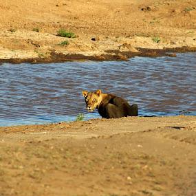 Lion (Lioness)  by Arun Prasanna - Animals Lions, Tigers & Big Cats ( #lioness #lion #river bed #golden )