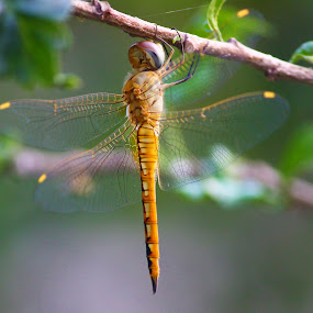 by Rajkumar Biswas - Animals Insects & Spiders ( dragonfly, insect )