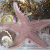 California Spiny Sand Star