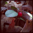 Teaberry / Wintergreen