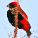 Southern Red Bishop/Rooivink