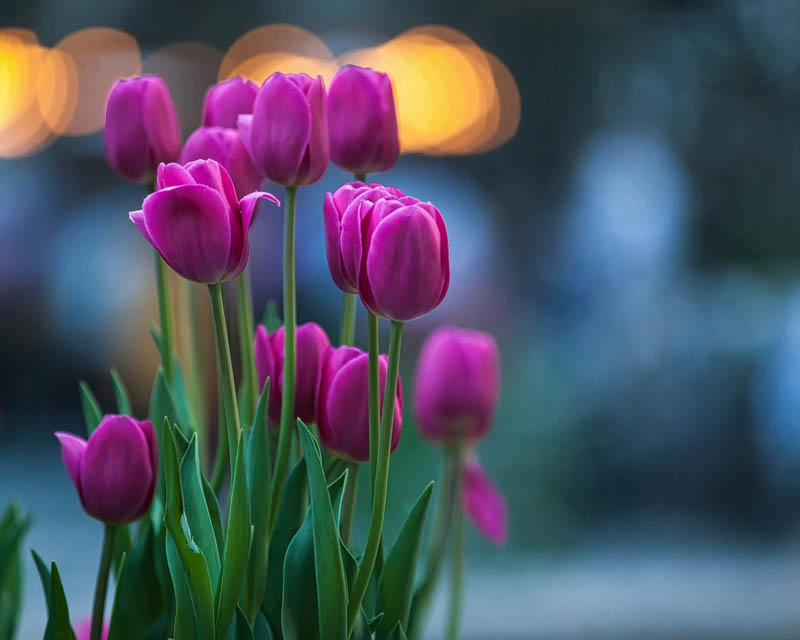 Tulips in the City by Kevin Case - Flowers Flower Arangements ( canon, kevin case, nycphotography, newyorkcity, tulip, kevdia photography, canon photography, nyc, kevdia, bokeh, flower, Flowers, Flower Arrangements )