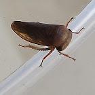 Thymbrini Leafhopper