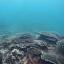 Hyacinth Table Coral