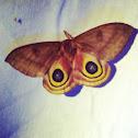 Io moth (female)