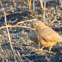 The Rufous-tailed lark
