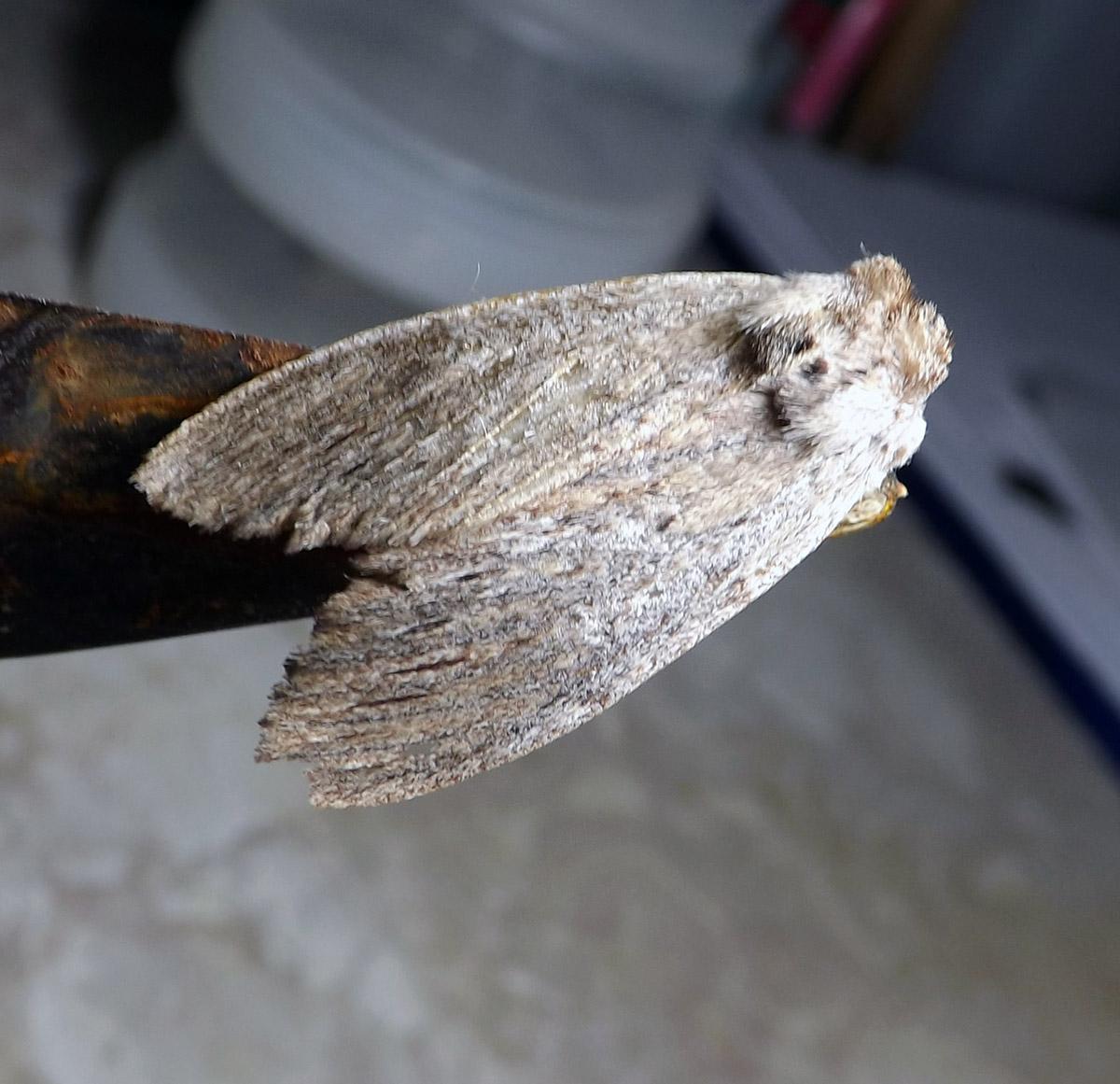 Noctuoidea Moth