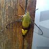 Oriental Bee Hawk