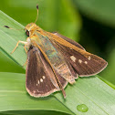 Unidentified Lepidoptera