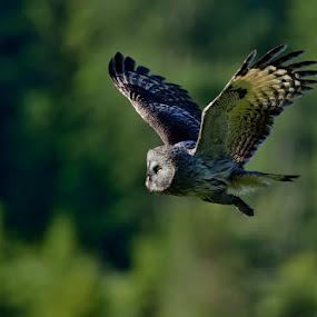 Great Grey Owl by Ronnie Bergström - Animals Birds