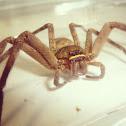 疾走異足蛛 , giant crab spider, banana spider