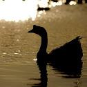 Swan Goose (domestic)