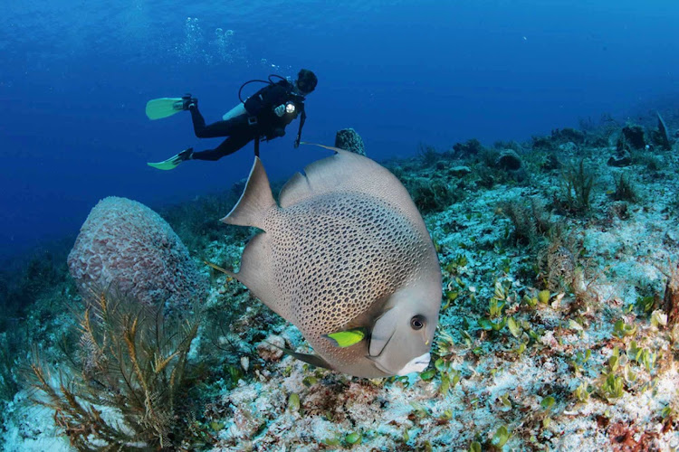 A diver follows a gray angelfish in the waters near Cozumel.
