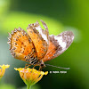 Orange Lacewing - Butterfly