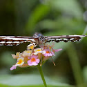 Common Sailer