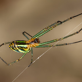 Spider by Jimmy Fang - Animals Insects & Spiders ( animals, macro, nature, wildlife, web, spider, spiderweb )