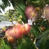 Mimosa - Persian Silk Tree