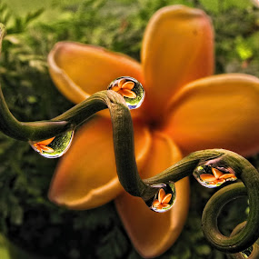 Plumeria and Lilikoi Curl by Margie MacPherson - Nature Up Close Natural Waterdrops (  )
