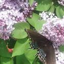 Eastern Tiger Swallowtail (female, dark morph)