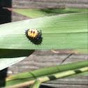 Asian Lady Beetle (larva)
