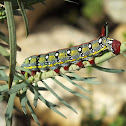 Spurge Hawkmoth Caterpillar