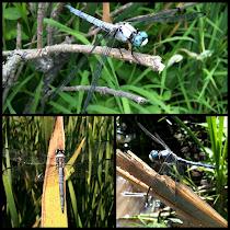 Dragonflies and Damselflies of Huntley Meadows Park