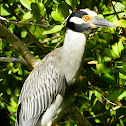Yellow-crowned Night-Heron - Yaboa común