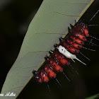 Malay Lacewing Caterpillar