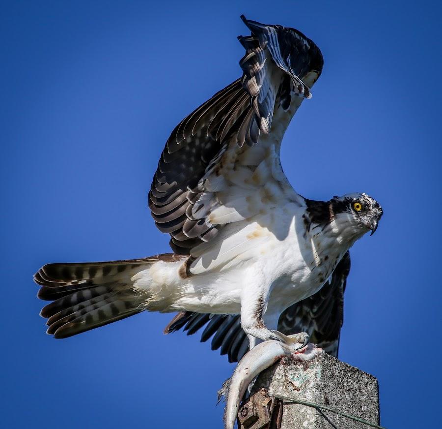 Back Off B*tch by Jared Lantzman - Animals Birds ( bird of prey, sea hawk, fish, breakfast, feather, bird, flying, food, wings, eating, fishing, hungry, large, eye, osprey,  )