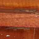 Galapagos Leaf-toed Gecko