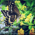 Palmedes Swallowtail