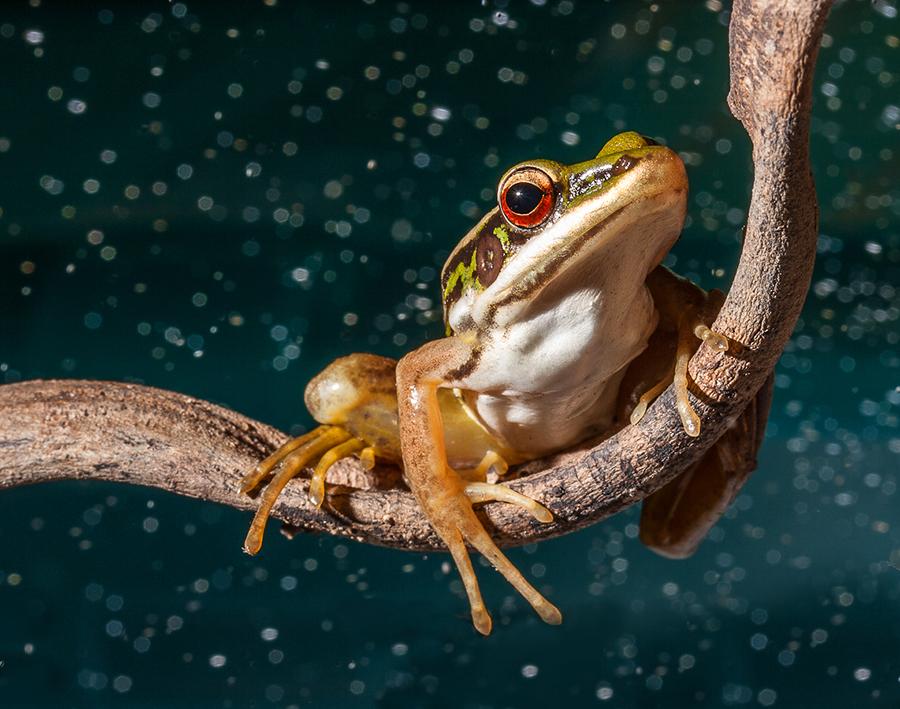 frog by Pkproject Khatawut J - Animals Amphibians ( animals, wild life, tree, nature, frog, amphibians, red eye, rain )